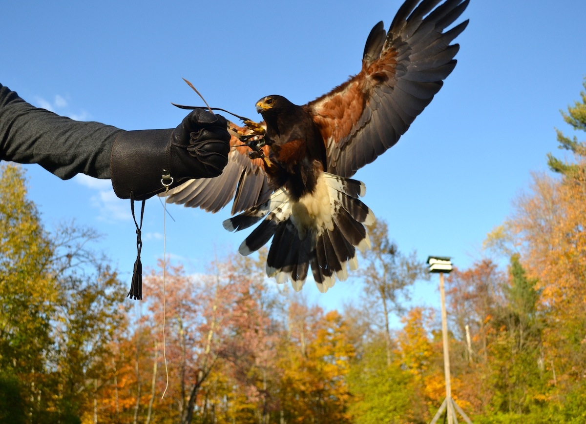 Learn about this ancient sport from a Master falconer!