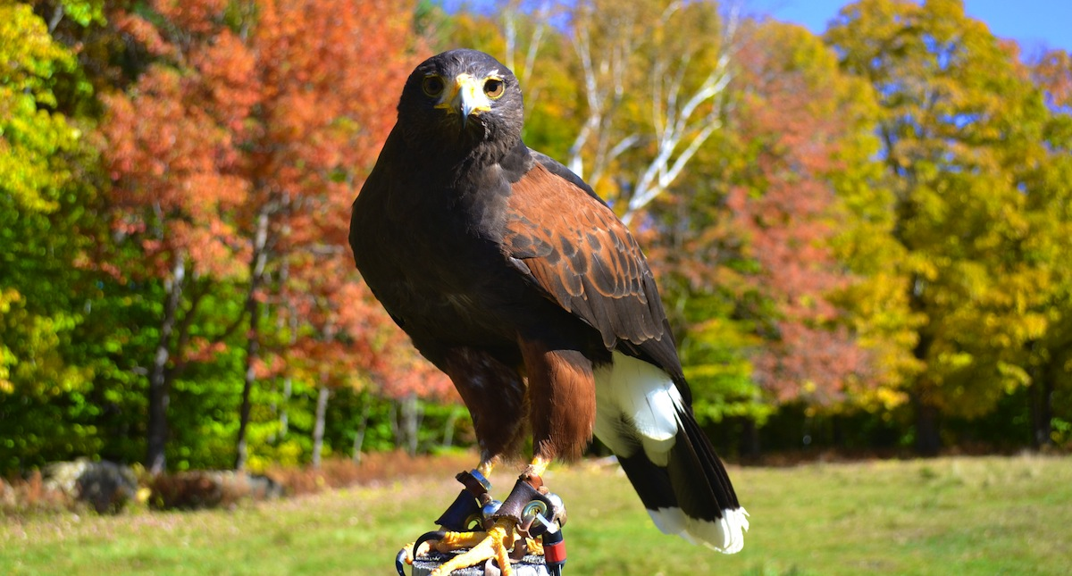 Experience falconry in the beautiful Green Mountains!