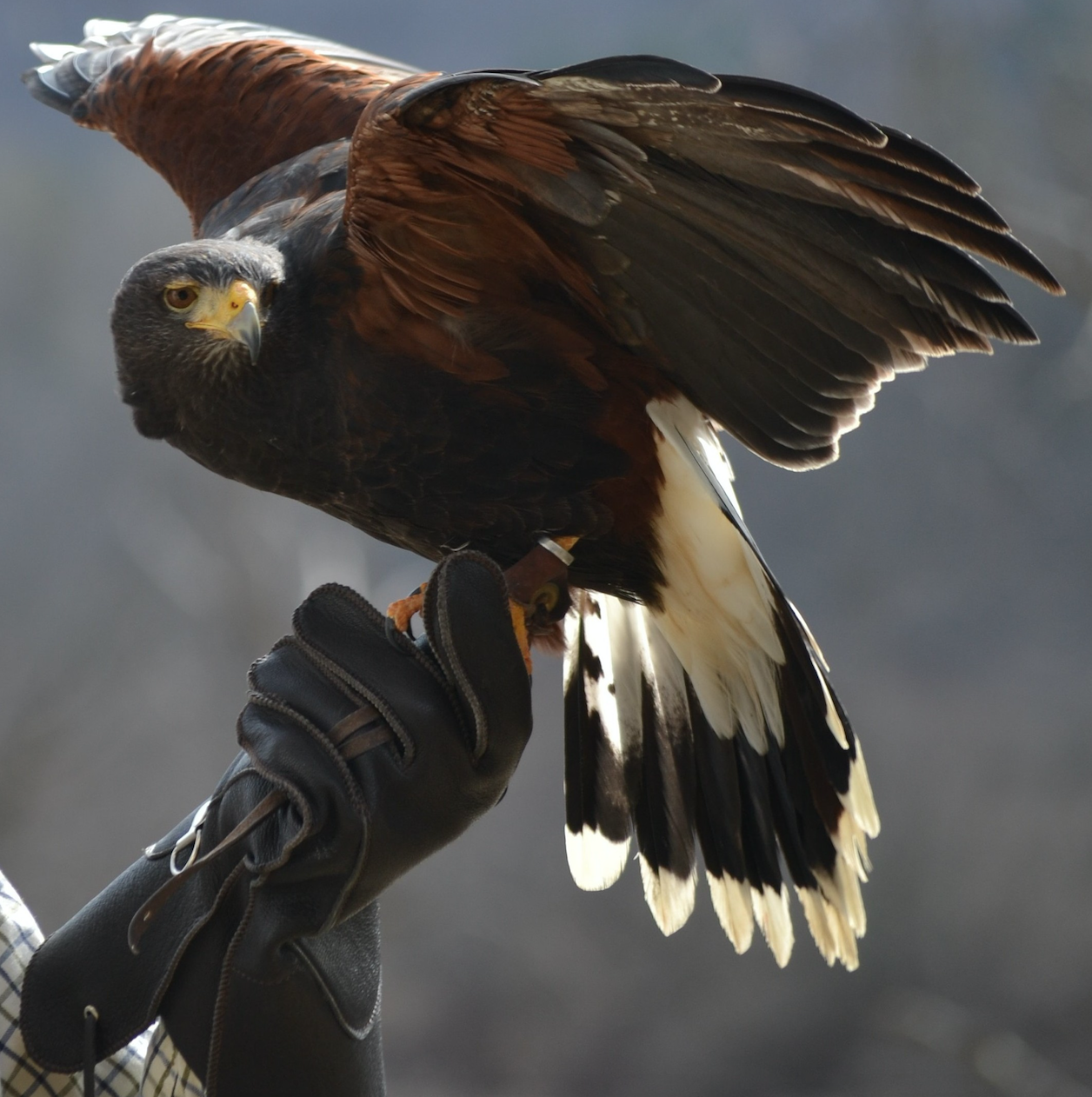 Green Mountain Falconry School Experience The Exhilaration Of Handling And Flying A Trained Harris Hawk In The Beautiful Setting Of Vermont S Green Mountains